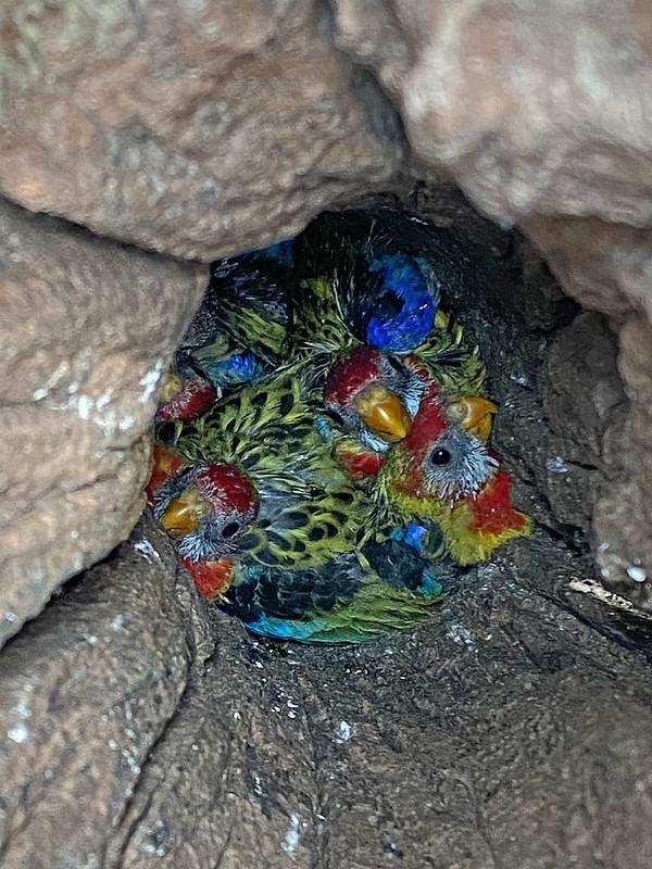 E Rosella Nest (0071) - Neville