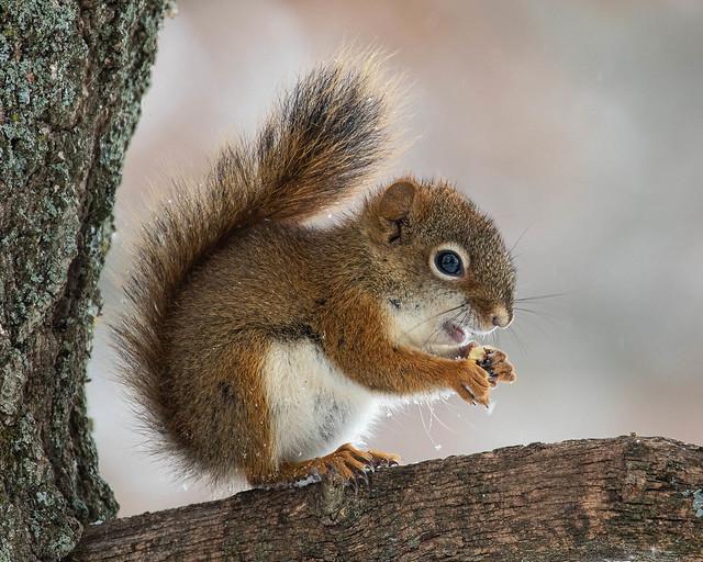 Red Squirrel enjoying a snack