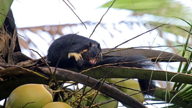 Grizzled Giant Squirrel - Ratufa macroura
