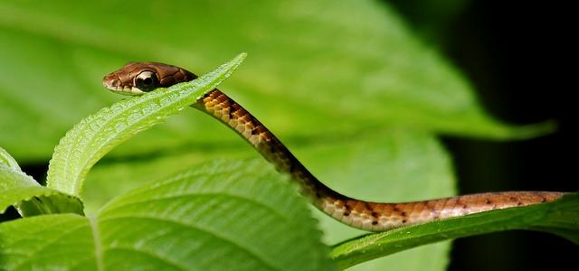 Common Bronzeback Tree Snake - Dendrelaphis tristis