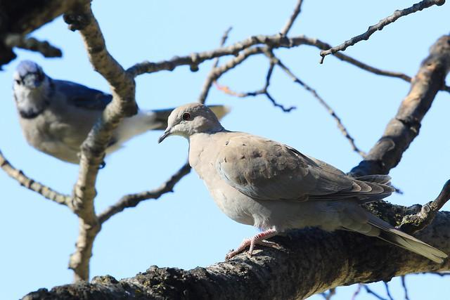 Eurasian collared dove at Lake Meyer Park IA 653A7469