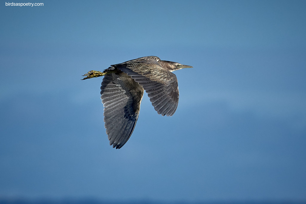 Australian Bittern: Off and Running