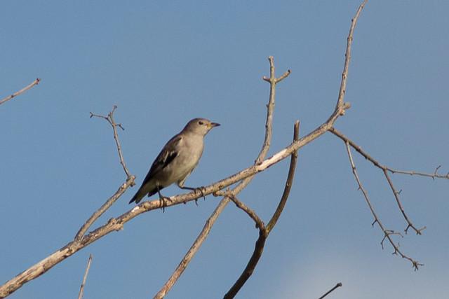 Daurian Starling