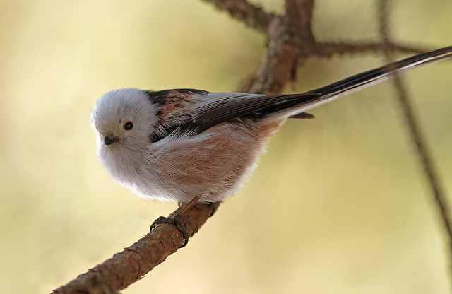 Ополовник - Long-tailed tit