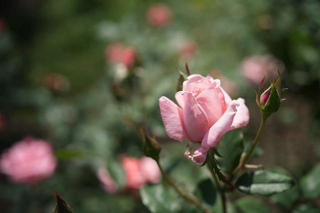 Rose 71