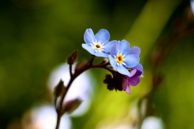 Forget-Me-Not       Angénieux G10   F:48  1:4