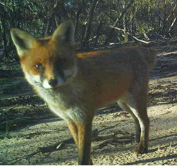Fox (PICT0041) - Mick