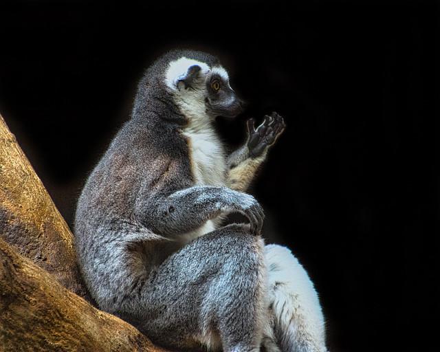 Lemur Tai Chi