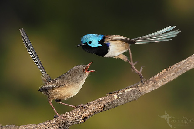 Variegated Fairy-wrens