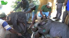 Baby elephant left behind by the herd is injured and sad until Awesome people showed up