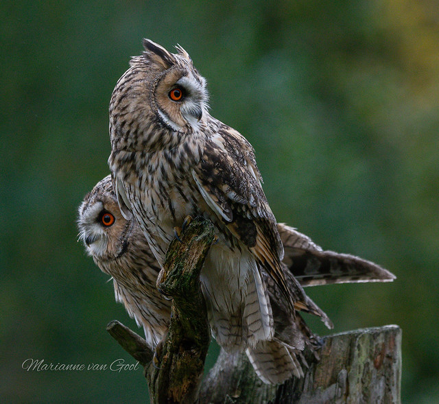Topvogels in Diessen Ransuil ❤️ 516