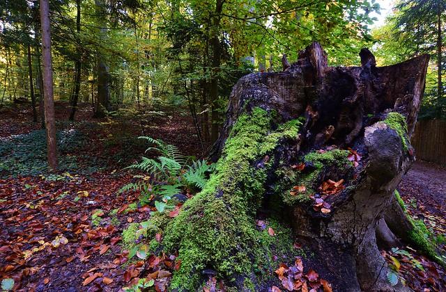 Berg - Tree Stump