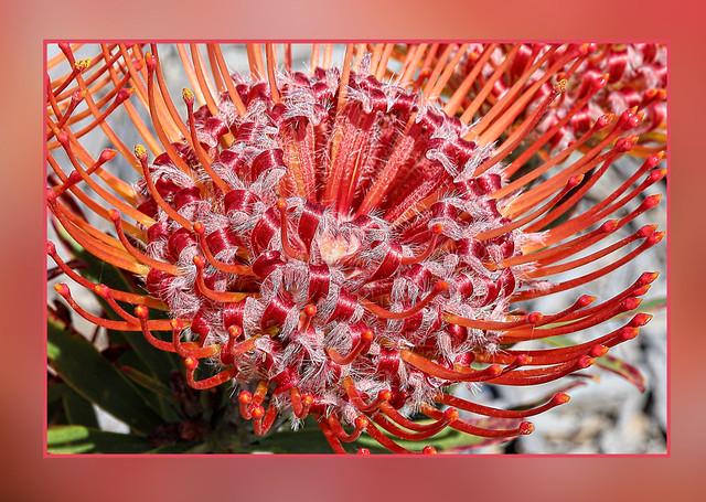 Leucospermum  Pincushion Scarlet Ribbons.