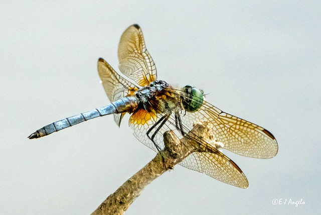 Blue Dasher (Pachydiplax longipennis) Dragonfly 02713