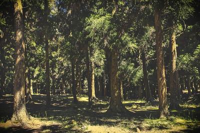 Forêt de cryptomérias