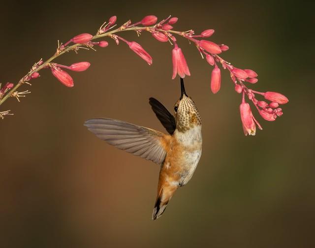 Rufous Hummingbird-1241-Edit