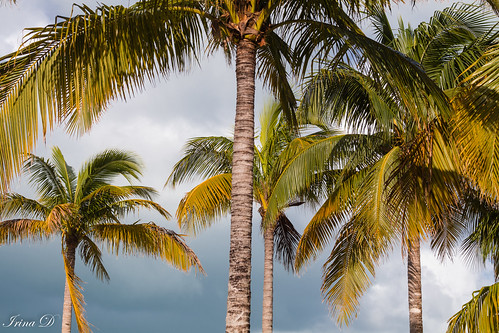 trees palmtrees green yellow sky clouds moody storm perpective outside view canon keywest nature light ngc coth coth5 npc outstandingromanianphotographers