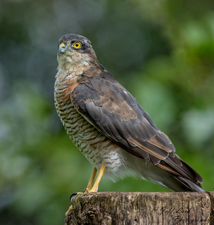 DSC1578  Sparrowhawk... | by Jeff Lack Wildlife&Nature