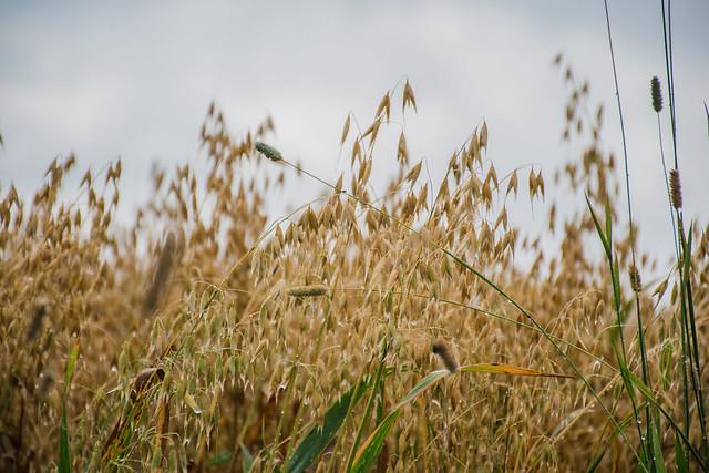 Isle-aux-Coudres, grains