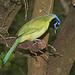 636 - GREEN JAY (10-25-2020) laguna atascosa n w r, cameron co, tx -02