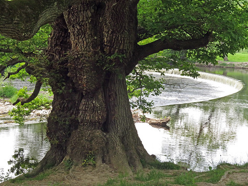 A large old tree in front of the Horseshoe falls at Llangollen, Wales