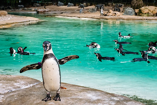 Penguin Dance | by icomley