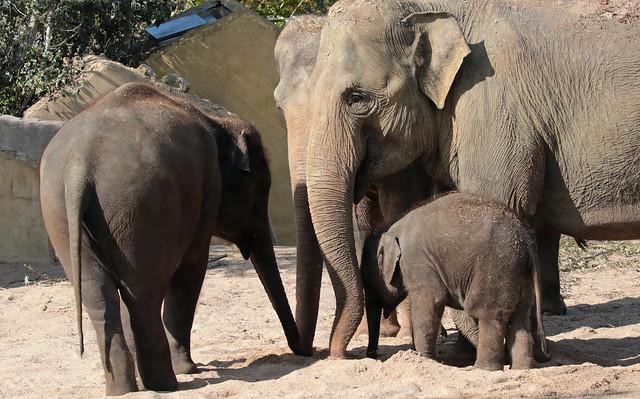asiatic elephant thong tai yindee Sanuk and Vinh Artis 094A0838