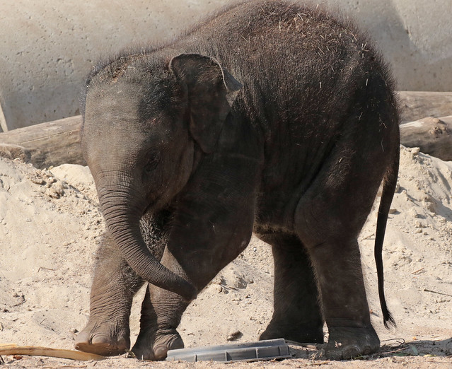 asiatic elephant Vinh Artis 094A0923