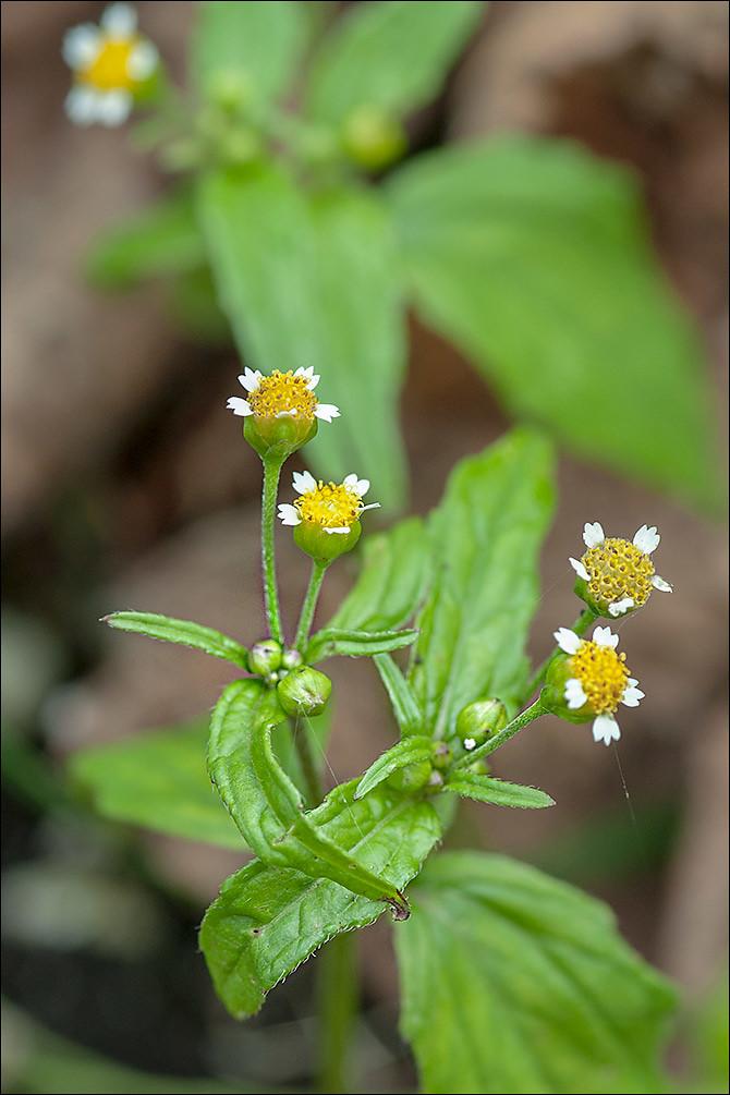 Galinsoga-parviflora_3