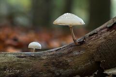 Porcelain fungus | Porseleinzwam