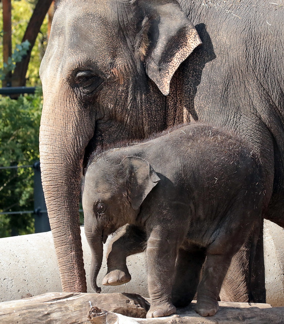 asiatic elephant Yindee and Vinh Artis 094A0858