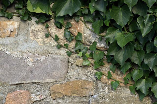 Ivy Wall W - SR1A8779