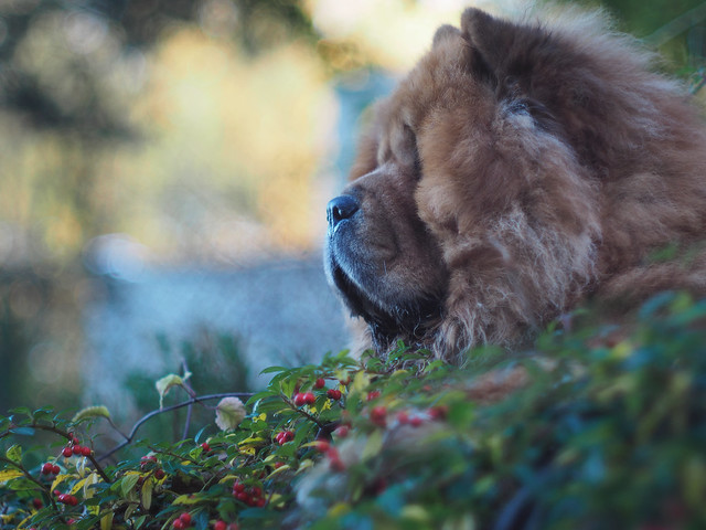 Chow chow in wonderland