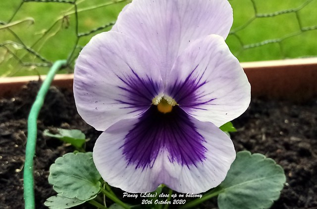 Pansy (Lilac) close up on balcony 20th October 2020