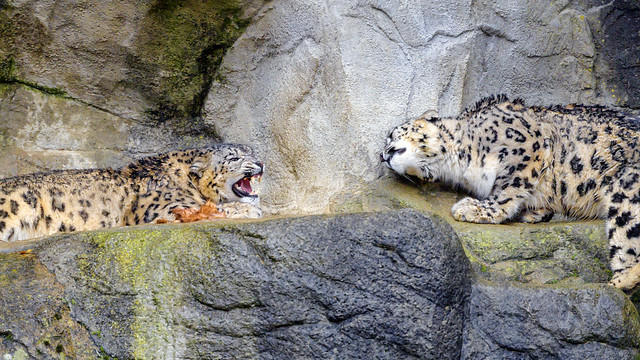 Snow leopard confrontation