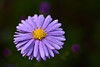 Blue Aster after Rain