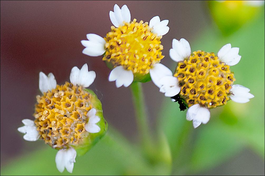 Galinsoga-parviflora_5