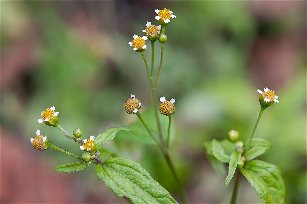 Galinsoga-parviflora_4