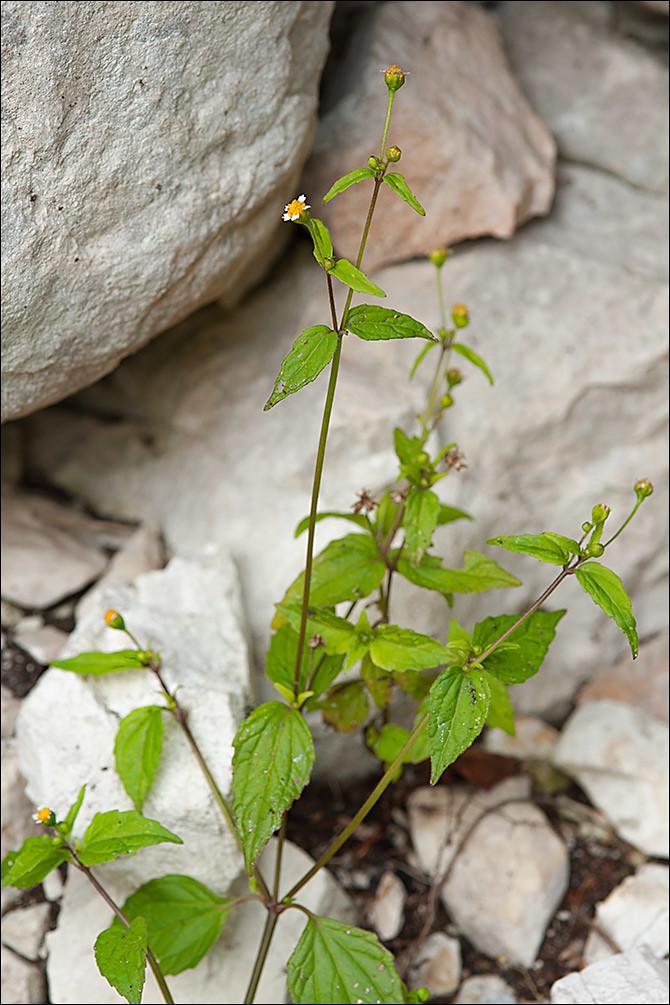 Galinsoga-parviflora_1