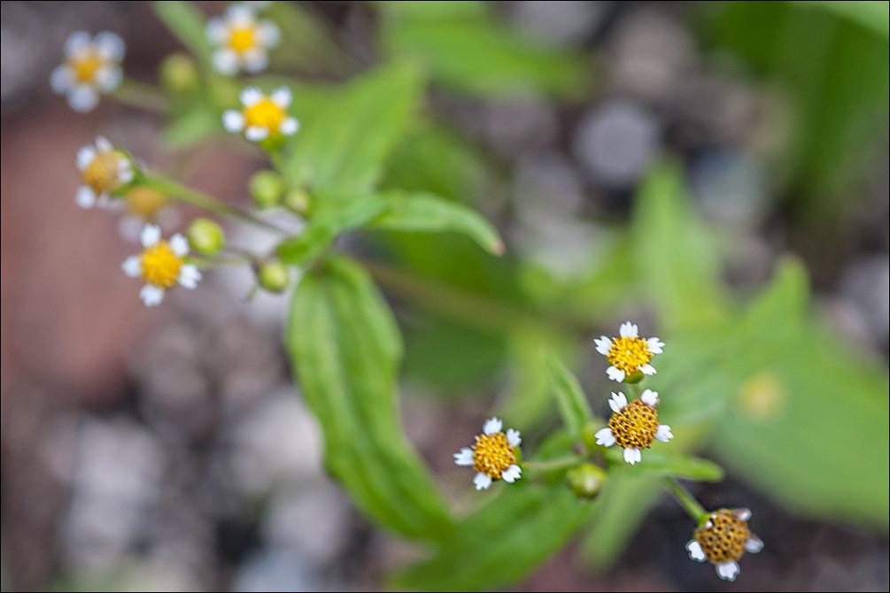 Galinsoga-parviflora_2