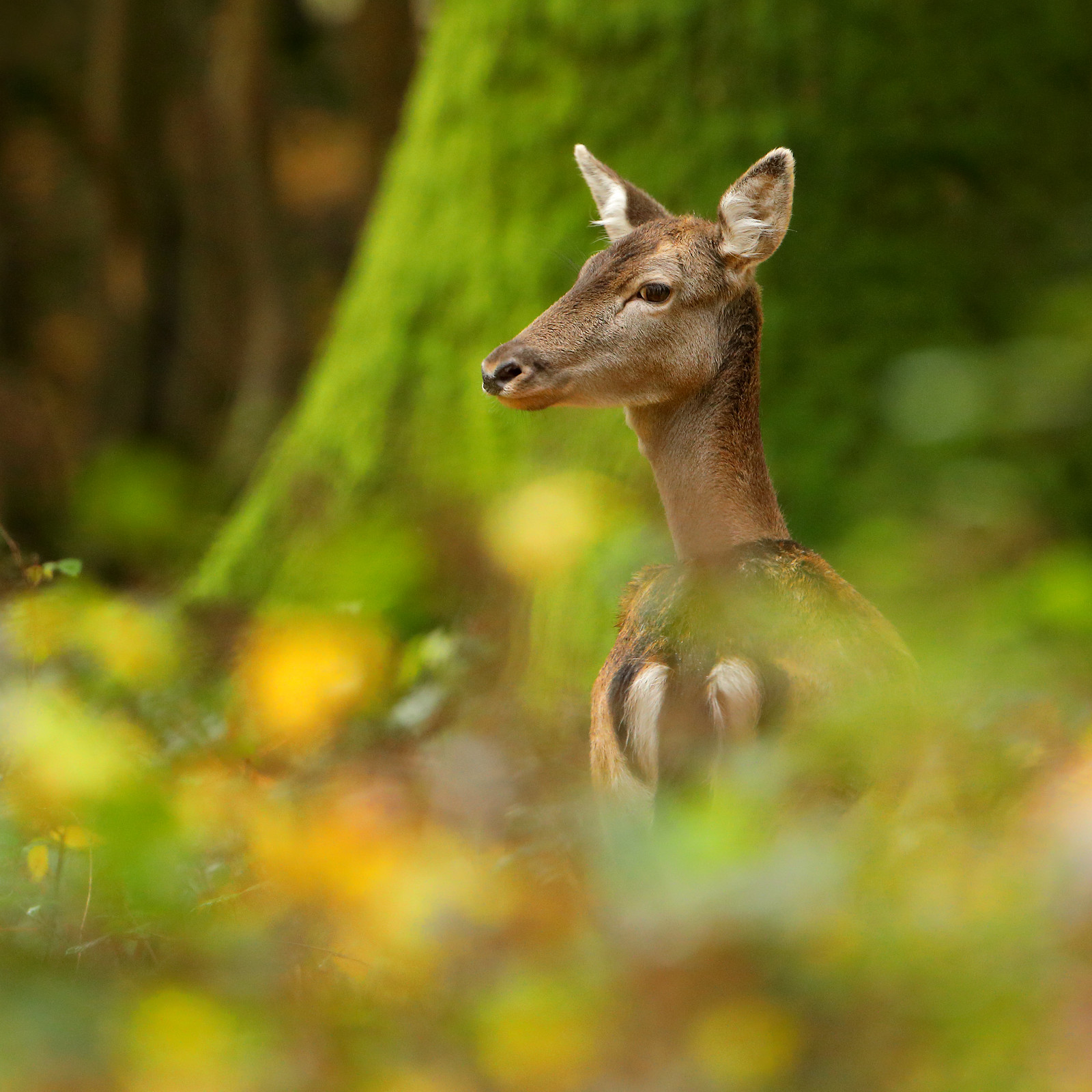 Fallow Deer in Autumn Woodland