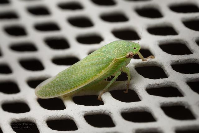 Green Bug (Details)