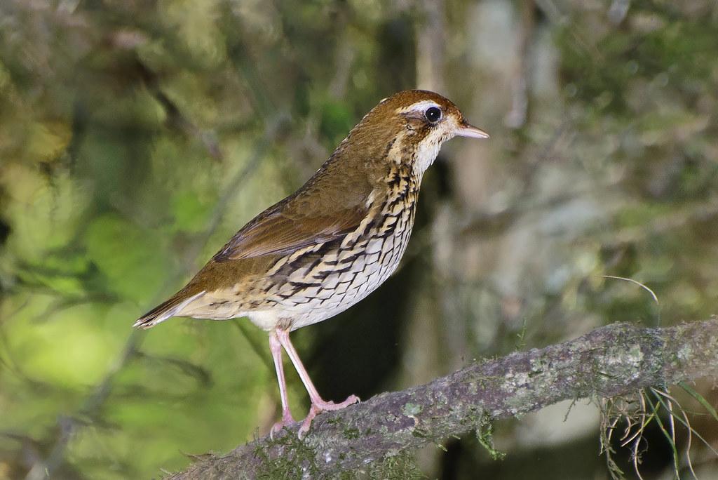 Tovaca-campainha (Chamaeza campanisona campanisona)