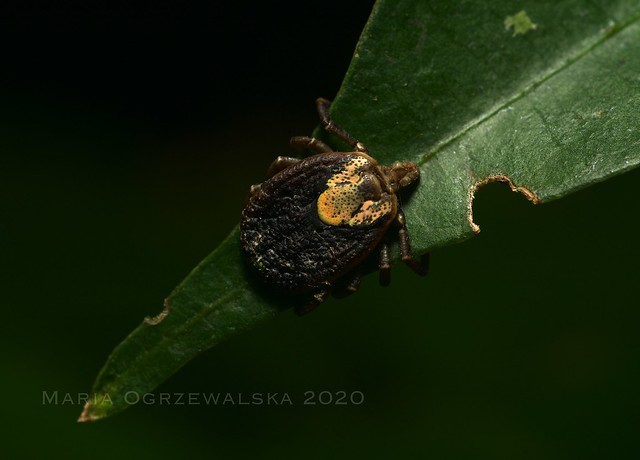 Amblyomma incisum (Acari: Ixodidae), female