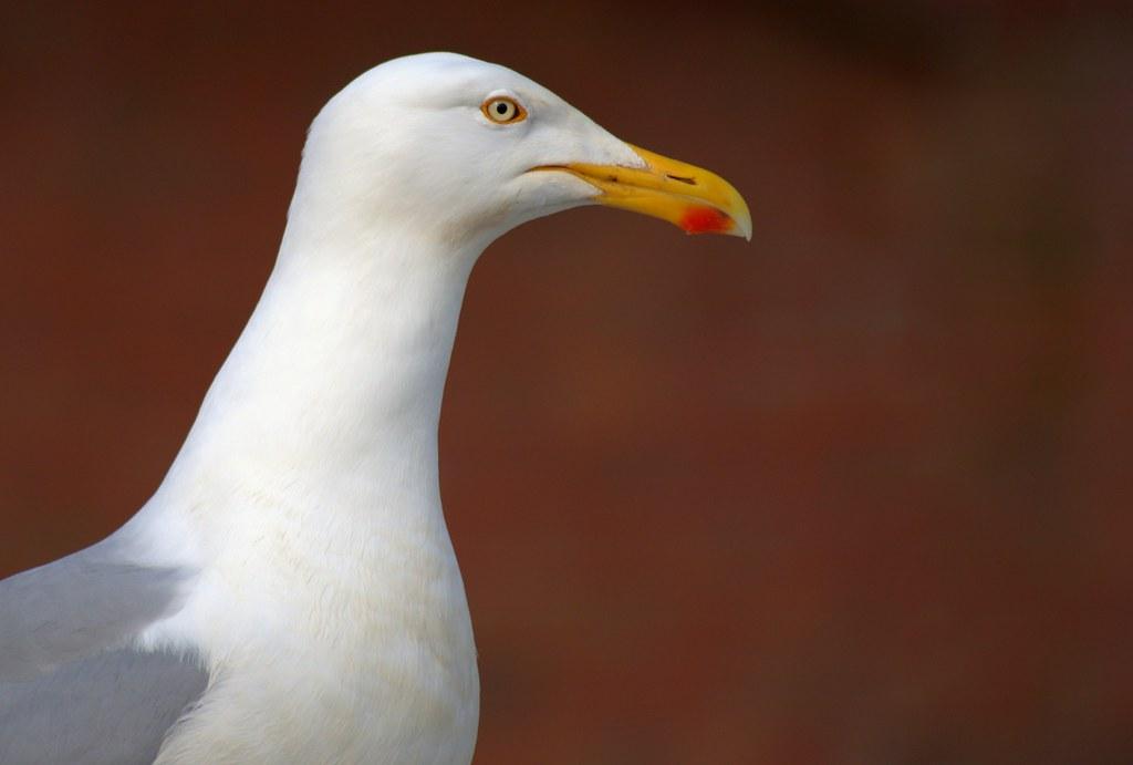 Gull close-up