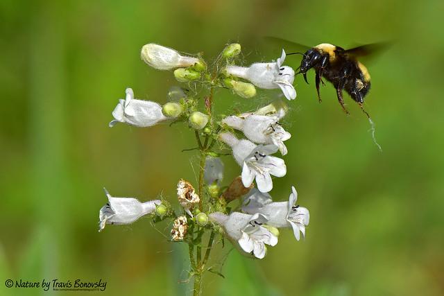 Bumblebee on Penstemon digitalis (Foxglove Beardtongue)