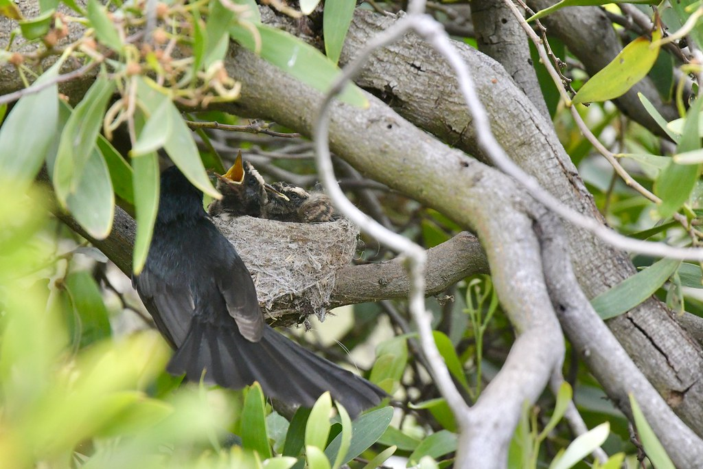 Willie Wagtails ( two young and very hungry)