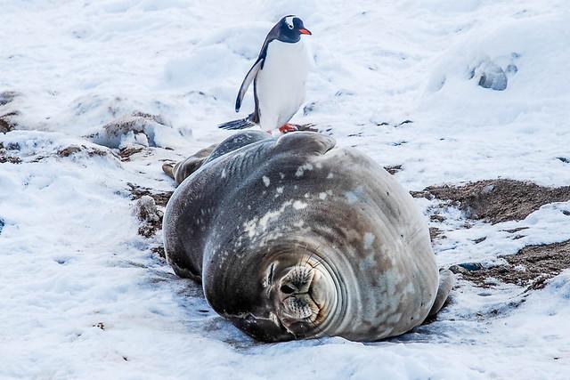 Foca y pinguino en la Antártida