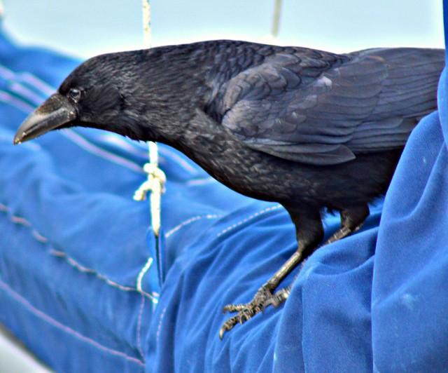 Crow at the marina