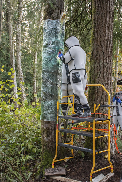 Washington State Department of Agriculture entomologists wear special suits to protect them against an Asian giant hornet's long stinger